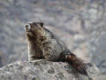 Murmeltier (Marmota) sitzend auf einem Felsen Stockfoto