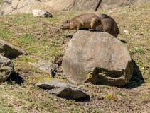 Murmeltier nimmt Sonne an Bronx-Zoo lizenzfreie stockfotos