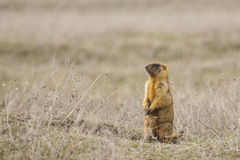 Murmeltier oder gewöhnliches (Steppe) groundhog an seinem Beitrag Stockbild