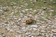 Murmeltier um den Bereich nahe Tso Moriri See in Ladakh, Indien Murmeltiere sind die großen Eichhörnchen, die unter dem Boden Liv Lizenzfreie Stockfotos