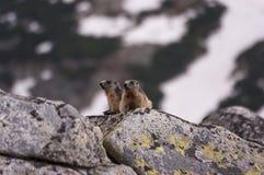 Murmeltiere auf den Felsen Tatry Stockfotos
