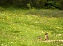 Murmeltiere der Dolomit Stockbild