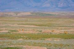 Murmeltiere, die aus ihren Löchern heraus schauen Lizenzfreie Stockfotos