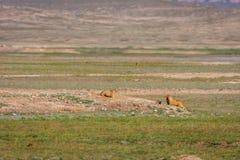 Murmeltiere, die aus ihren Löchern heraus schauen Lizenzfreies Stockfoto