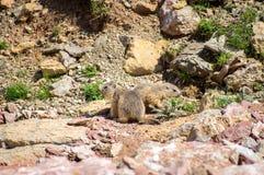 Murmeltiere, die in den Felsen leben Stockbild