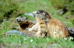 Murmeltiere, die Kampf spielen Stockfotografie