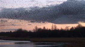 Murmuration ψαρονιών στον ουρανό χαμηλό πέρα από τα δέντρα