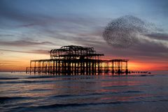 Murmuration over Brighton`s West Pier, England. Royalty Free Stock Photography