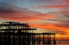 Murmuration over Brighton`s West Pier, England. Stock Image
