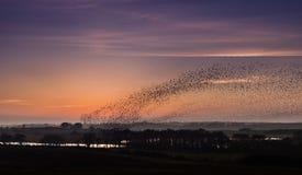 Starlings Стоковые Фотографии RF