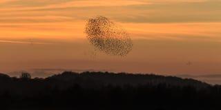 Murmuration starlings Стоковая Фотография