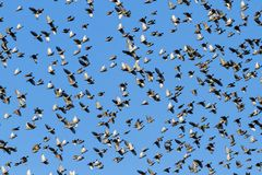 Murmuration starlings on blue sky stock images
