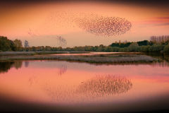 Murmuration Royalty Free Stock Image