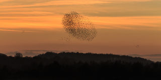 Murmuration of starlings Stock Photography