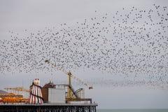 Murmuration van starlings over Paleispijler, Brighton, Sussex, het UK Gefotografeerd op een koude avond in December royalty-vrije stock fotografie