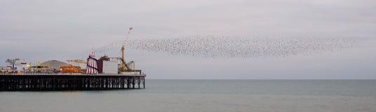 Murmuration van starlings over Paleispijler, Brighton, Sussex, het UK Gefotografeerd op een koude avond in December royalty-vrije stock afbeelding