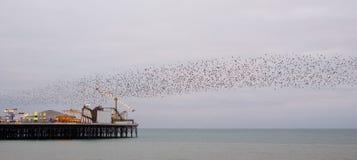 Murmuration van starlings over Paleispijler, Brighton, Sussex, het UK Gefotografeerd op een koude avond in December royalty-vrije stock afbeeldingen