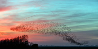 The Murmurations of Starlings. In a nice evening light Stock Photo