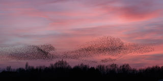 The Murmurations of Starlings Royalty Free Stock Photography