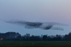 The Murmurations of Starlings Royalty Free Stock Images