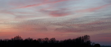 The Murmurations of Starlings Stock Image