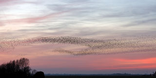 The Murmurations of Starlings Stock Photography