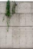 Muro de cemento industrial con el colgante de la hiedra Fotos de archivo