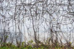 Muro de cimento cinzento com as videiras torcidas da selva e seta do metal branco que aponta à direita Foto de Stock