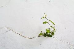 Muro de cimento do Grunge e planta verde, fundo e textura Tom do vintage Fotografia de Stock
