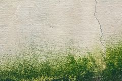 Muro de cimento velho da textura mofado úmida Fotografia de Stock