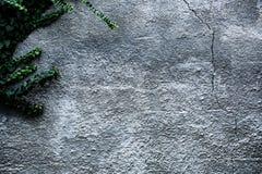 Muro di cemento con il fondo verde dell'estratto dell'edera immagine stock