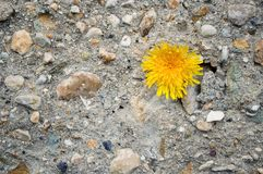 Muro di cemento con le pietre ed il dente di leone giallo immagine stock libera da diritti