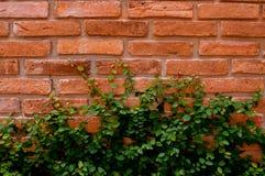 Muro di mattoni con il foglio verde Immagini Stock Libere da Diritti