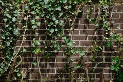 Muro di mattoni con l'edera Immagini Stock Libere da Diritti