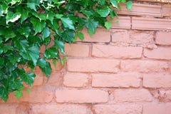 Muro di mattoni con la pianta dell'edera nell'angolo Fotografia Stock