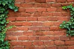 Muro di mattoni coperto in edera fotografia stock libera da diritti