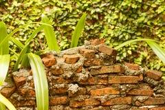 Muro di mattoni davanti all'edera sulla parete Fotografia Stock