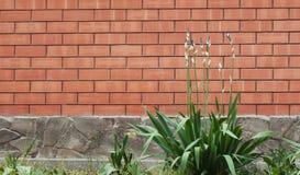 Muro di mattoni rosso con i fiori di fioritura su priorità alta Immagine Stock Libera da Diritti