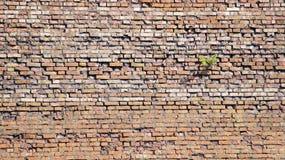 Muro di mattoni su cui l'albero si sviluppa Immagini Stock Libere da Diritti