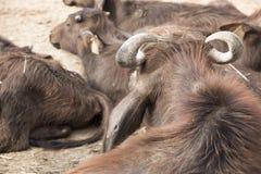 Murrah-Büffel in einem Volk Lizenzfreie Stockbilder