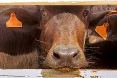 Murrah-Büffelbauernhof in Thailand, Landwirtschaft Stockbilder