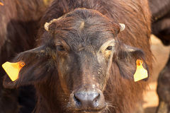 Murrah-Büffelbauernhof in Thailand, Landwirtschaft Lizenzfreies Stockbild