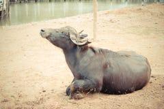 Murrah buffalo Stock Images