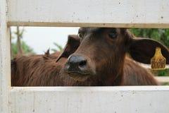 Murrah buffalo Stock Image