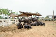 Murrah buffalo Stock Photos