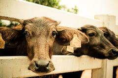 Murrah buffalo, Vintage Stock Image