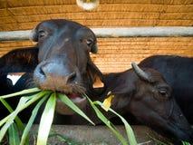 Murrah buffaloes Royalty Free Stock Photography