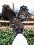 Murrah buffaloes Royalty Free Stock Images