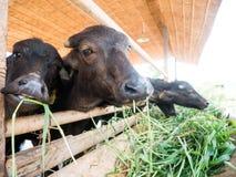 Murrah buffaloes Royalty Free Stock Photo