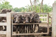 Murrahbuffels Stock Afbeelding